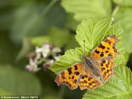 comma butterfly is thriving again daily mail