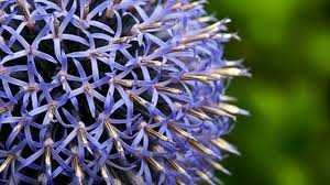 give beautiful color to your garden with blue perennial flowers