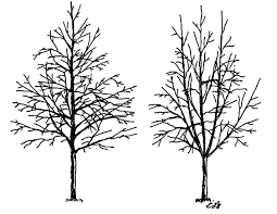 urban tree foundation