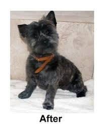 cairn hair cuts my cairn terrier ozzie furry friends pinterest cairn