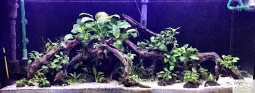 Aquascape Com Cichlid Forum U2022 Tropheus Planted Tank