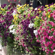 balkonblumen pflanzen pflege und tipps mein schöner garten - Balkon Blumen