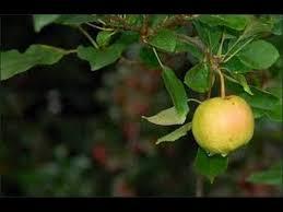 What Fruit Trees Grow In Texas - growing apples in texas my 2014 apple crop youtube