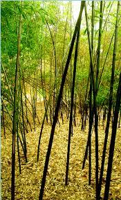 118 best shrubs reeds images on pinterest bamboo art japanese
