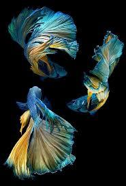 best 25 betta fish ideas on pinterest betta beautiful fish and
