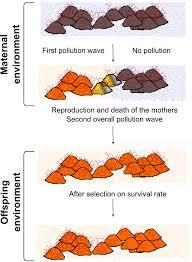 maternal effects modulate offspring development and population