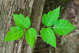 tips for removing poison ivy