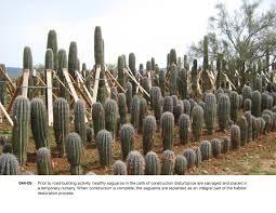 native plants in arizona asla 2012 professional awards ironwood and saguaro transplant