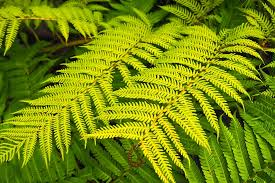 Free Picture Leaf Nature Fern Free Photo Leaves Fern Forest Forest Plant Plant Nature Max Pixel