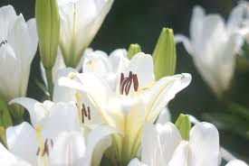 White Lily Flower Leave The Lilies Outside Toxic Plants And Cut Flowers The