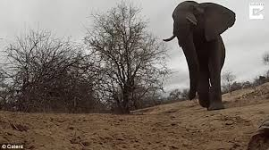The Blind Men And The Elephant Analysis Elephant Steals Gopro Left By Safari Guide In South Africa Daily