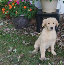 belgian shepherd golden retriever mix trained dogs for sale family obedience u0026 protection dogs