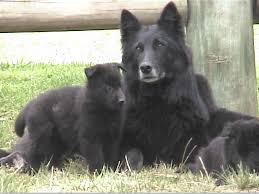 belgian sheepdog pups the dog and puppies belgian sheepdog