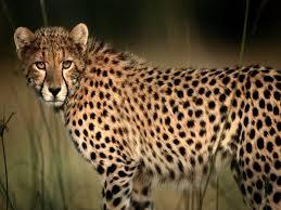 cheetah cheetahs animal and cat