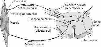 How Does A Reflex Arc Work In A Nervous System Deric Bownds Lectures U0026 Writings