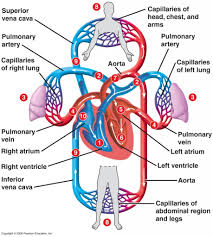 Diagram Heart Anatomy Diagram Of Blood Circulation In The Body Blood Flow Diagram Heart