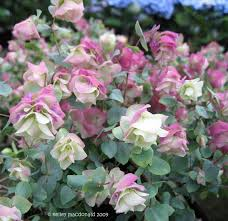 32 best origanum images on flowers flower power and