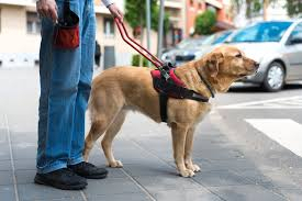 the best guide dogs don u0027t have u0027helicopter u0027 moms study finds
