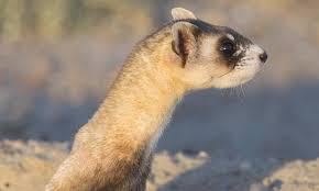 black footed ferret species wwf
