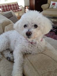 bichon frise virginia lynchburg resident raising awareness of leash law after dog