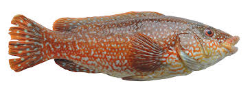 cuisiner une vieille les poissons cuisine à l ouest