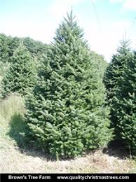 buy balsam fir trees