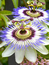 types of blue flowers passion flower passion and sea anemone