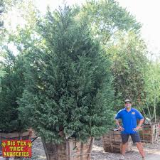 leyland cypress evergreen trees big tex tree nurseries