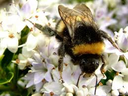 misconceptions of the bumblebee an in depth analysis of an