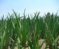 aloe vera plant facts aloe vera a plant which has history before christian amazing facts