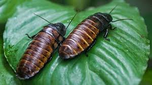 How Often Do Bed Bugs Reproduce How Do Cockroaches Reproduce Life Cycle Of Eggs Oothecae And