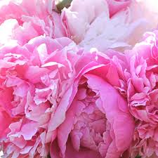 Peony Flowers by Shop Peonies Peony Catalog Herbaceous Peonies Intersectional