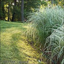 ornamental grasses beautiful and easy companions dave s garden