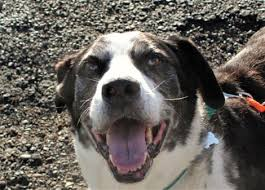 australian shepherd mastiff mix pet of the week looking for a family dog the eatonville dispatch