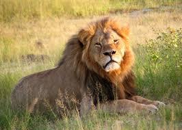 killing of cecil the lion wikipedia