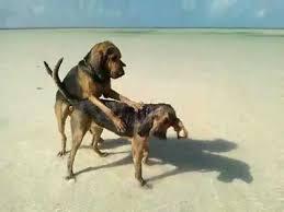 afghan hound de 1 mes nuestros cachorros bloodhound jugando en cancun youtube