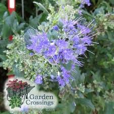 Bluebeard Flower - caryopteris beyond midnight bluebeard shrub source
