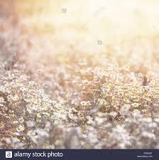 closeup of beautiful fresh daisy meadow in warm yellow sun light