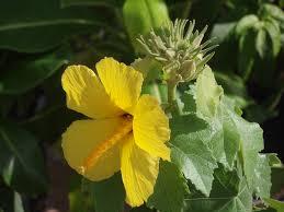 native hawaiian plants for sale mau hau hele close up jpg