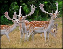 When Do Deer Shed Their Antlers by Fallow Deer Facts History Useful Information And Amazing Pictures