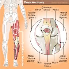 Knees Anatomy Anatomy Of The Knee Anatomy Of The Knee Howstuffworks