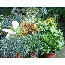 ornamental foliage plant manufacturer supplier in delhi india