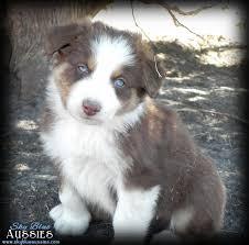 australian shepherd cost sky blue aussies aussie puppies for sale