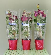 clematis balkon novelty in our offer clematis my pbr as a gift