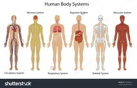 Nervous System Human Anatomy Nervous System In The Body Clipart Clipground