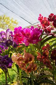 bai orchid and butterfly farm at chiang mai stock photo image of