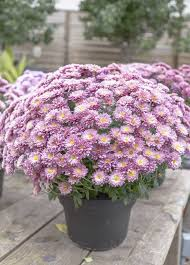 care of container grown mums u2013 tips for growing chrysanthemums in pots