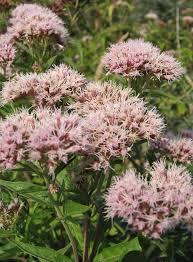 grassland native plants hemp agrimony eupatorium cannabinum is a tall plant found in