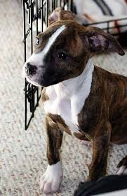 american pitbull terrier mix sydney the american pit bull terrier puppies daily puppy