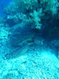 free images ocean diving underwater sea turtle coral reef